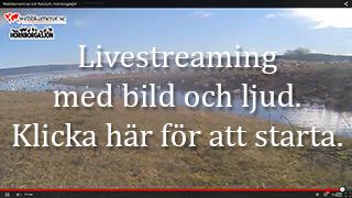 Djurkamera: Livestreaming - Trandansen, Hornborgasjön